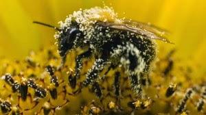 9e094-bee_pollen1-300x168